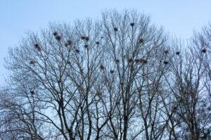 Eine Saatkrähen-Kolonie